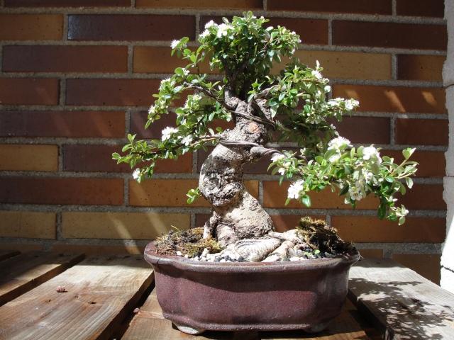 silvestrys bonsai. cotoneaster