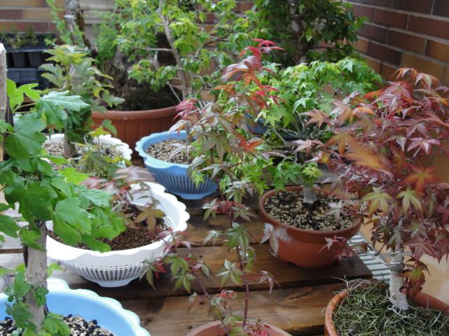 arce buergerianum, palmatum, kashima, campestre y deshojo