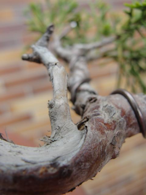 junipero chinensis itoigawa.
