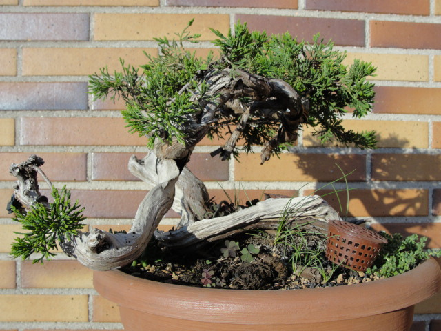 Juniperus Sabina Rastrera.